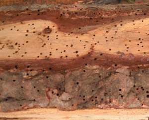 Timber treatment   Signs of woodworm
