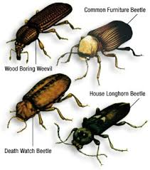 Image of the most common woodworm beetles